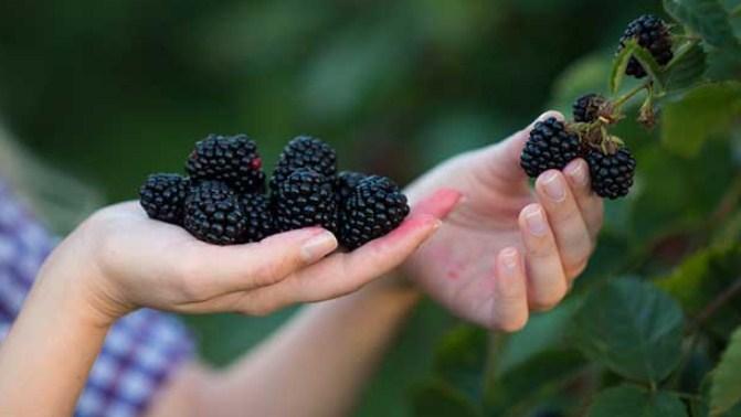 amoras fruta com baixo carboidrato